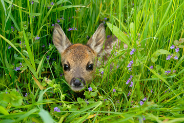 Western roe deer in meadow, Fawn, Germany, Europe