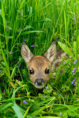 Spoed Fotobehang Ree Western roe deer in meadow, Fawn, Germany, Europe