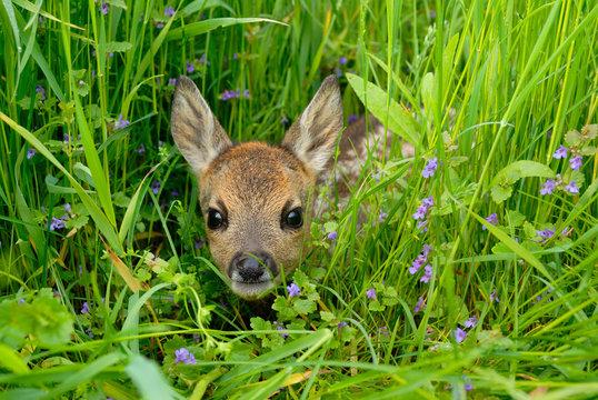 Western roe deer in meadow, Fawn, Germany, Europe
