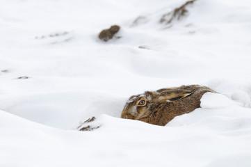 European brown hare (Lepus europaeus), Germany, Europe
