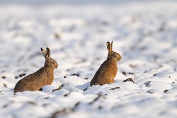 European brown hares (Lepus europaeus), Germany, Europe