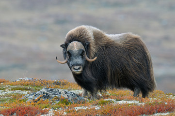 Muskox (Ovibos moschatus), Bull, Dovrefjell National Park, Norway, Europe Wall mural