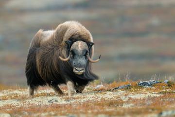 Muskox (Ovibos moschatus), Bull, Dovrefjell National Park, Norway, Europe