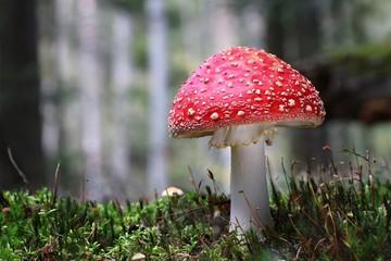Obraz Muchomor czerwony muscaria amanita forest  - fototapety do salonu