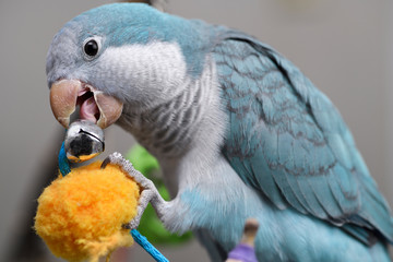 Close up of blue Quaker Parrot pet bird chewing on a metal bell not recommended for such birds