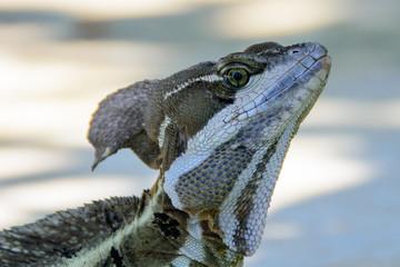 head shot of a Basilisk lizard