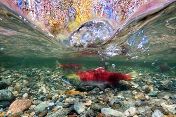 California, British Columbia, Adams River, Sockeye salmon, Oncorhynchus nerka, over-under image