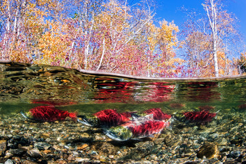 California, British Columbia, Adams River, Sockeye salmons, Oncorhynchus nerka, over-under image
