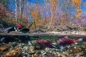 California, British Columbia, Adams River, Photographer photographing spawning sockeye salmons, Oncorhynchus nerka