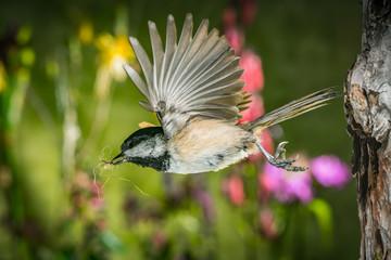 A chickadee leaving the nest