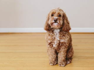 A cockapoo mixed breed dog, a cocker spaniel poodle cross, a family pet with brown curly coat,Cockapoo mixed breed dog