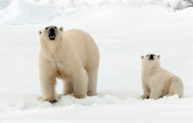 Polar Bear (Ursus maritimus) standing on ice flow of Svalbard, arctic Norway. A threatened species from the arctic.