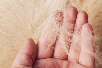 Fototapeta Brown dog fur in human palm obraz
