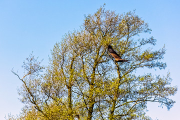 Flying red kite (Milvus milvus)