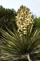 Banana Yucca in Organ Mountains Desert Peaks National Monument in New Mexico