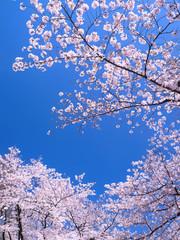 Fototapete - 桜が満開の上野公園
