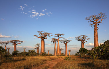 Keuken foto achterwand Baobab Avenue of the Baobabs near Morondava, Madagascar