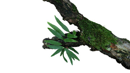 Wall Mural - Epiphytic green leaves fern and mosses grow on old weathered jungle tree branch in tropical rainforest isolated on white bacground, clipping path included.