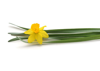 Poster Narcisse Flowers yellow narcissus.