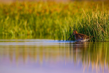 Lake and bird. Natural background. Green, yellow lake background. Water reflection. Bird: Common Snipe. Gallinago gallinago.