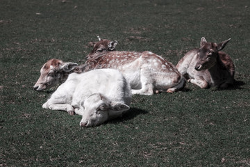 Albino deer chilling at noon