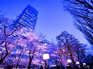 Fototapete - 東京ミッドタウン 桜ライトアップ