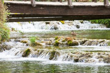 Krka, Sibenik, Croatia - A duck resting on a stone with some river cascades