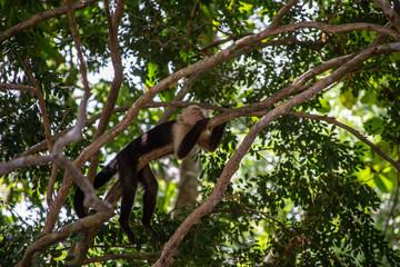 Foto op Textielframe Aap Wild Monkey sleeping