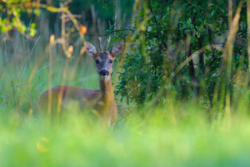 Tuinposter Ree Western Roe Deer (Capreolus capreolus) in Summer, Roebuck, Germany, Europe