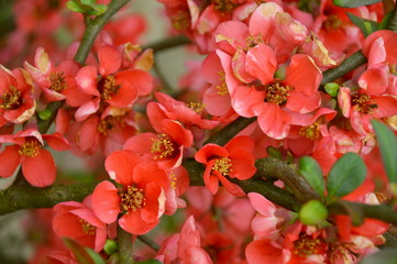 Pigwa Flowers