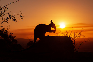 silhouette of a Kangaroo on a rock with a beautiful sunset in the background. The animal is eating food. Queensland, Australia