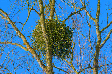 Mistletoe on tree, Wintertime, Germany, Europe
