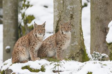Foto auf Acrylglas Luchs European Lynx