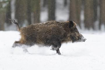 Runing Wild boar (Sus scrofa) at Snowfall, Germany, Europe