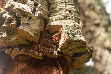 bark of a cork oak; closeup shot