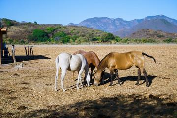 Los caballos están alimentándose en el campo del pueblo Mascota Jalisco México.