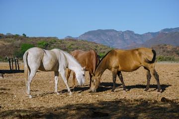 Tres hermosos caballos están comiendo pasto del campo en el pueblo Mascota Jalisco México.