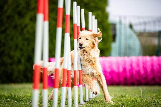dog agility golden hovawart