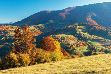 wonderful autumn afternoon in mountains. beautiful countryside scenery with trees in red foliage on the hills; rural area of carpathians. clear blue sky