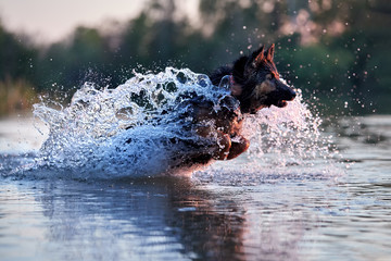 Dog trained for rescue life in deep water, running fast in deep splashing water in colorful evening light. Czech shepherd, purebred. Low angle photo, side view. Dog breed native to Czech republic.