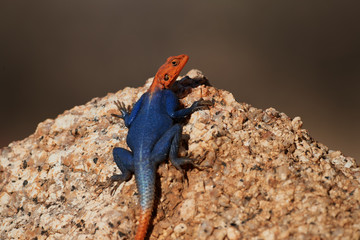 Orange and blue colored lizard, Namibian rock agama, Agama planiceps, male posing on yellow granite rock in typical desert environment. Isolated colorful agama, Spitzkoppe, Namibia.