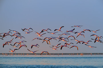 Flock of  bright pink african water birds, Lesser Flamingos, Phoenicoparrus minor,  flying around the ocean shore. Pink flamingos in vivid colors of morning sun. Walvis Bay, Namibia, Africa.