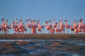 Bright pink african water birds, Lesser Flamingos, Phoenicoparrus minor,  walking during low tide on the shore of Walvis Bay, Namibia. A lot of pink flamingos, low angle photo, vivid colors.