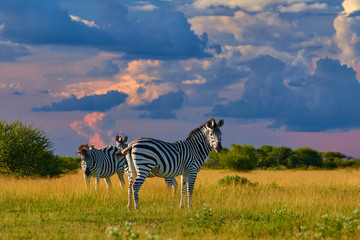 Low angle view on Burchell's zebra, Equus quagga, formerly Equus burchellii, standing in the  lush savanna against storm clouds. African wildlife scene in vivid colors. Nxai Pan, Botswana, Africa.