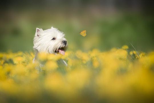 West Highland Terrier im Frühling