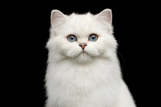 Portrait of British White Cat with blue eyes gazing on Isolated Black Background, front view