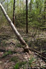 Der gefäller Baum eines Bibbers