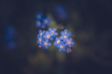 Forget me not flower / Myosotis alpestris