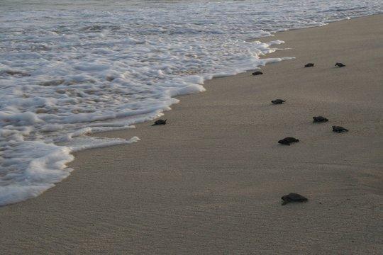 Loggerhead sea turtles reaching the sea after hatchling