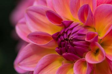 Poster de jardin Dahlia Dahlie Pink Blume